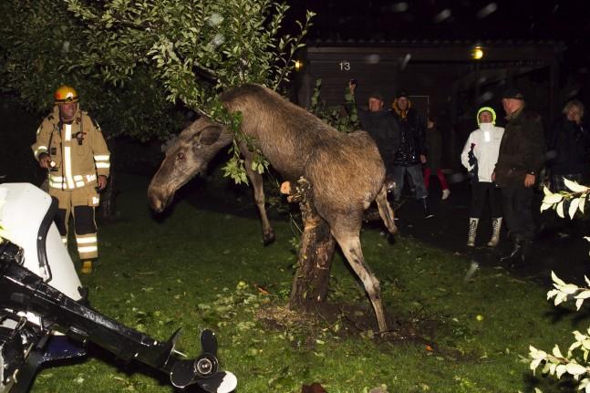 Fuld elg klatrede op i æbletræ